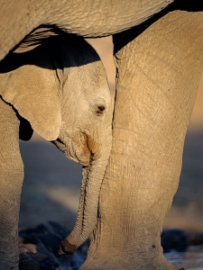 Elephant tired