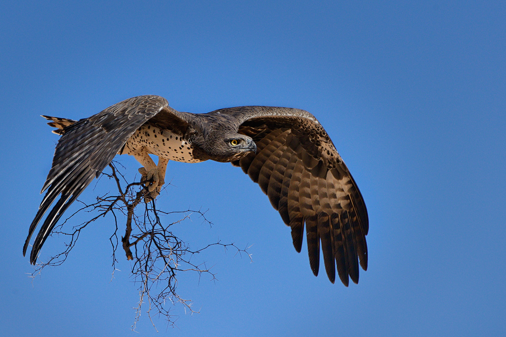The gallery for --> Martial Eagle Hunting