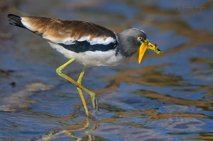 Lapwing with butterfly 3 1400 300k 72d sRGB noise K W