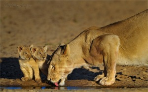 14 Lioness and cubs drinking water 3 W
