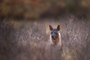 Brown hyena landscape crop 1 1400 1MB 300d sRGB